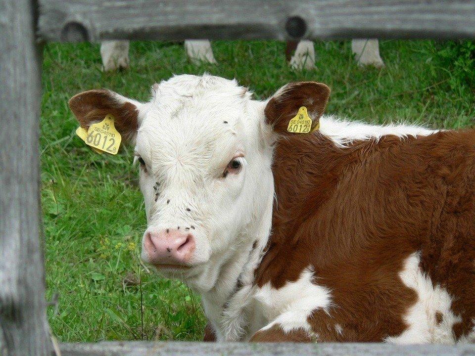 Bezpečnost a ochrana zdraví při práci v živočišné výrobě